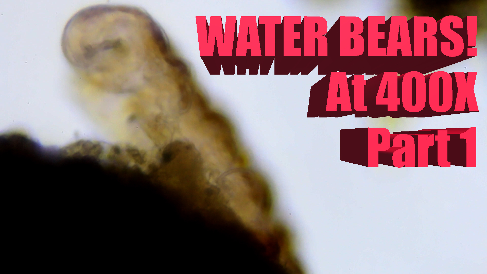 SCIENCE with WATER BEARS! Tardigrades at 400x p1