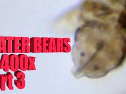 SCIENCE with WATER BEARS! Tardigrades at 400x p3